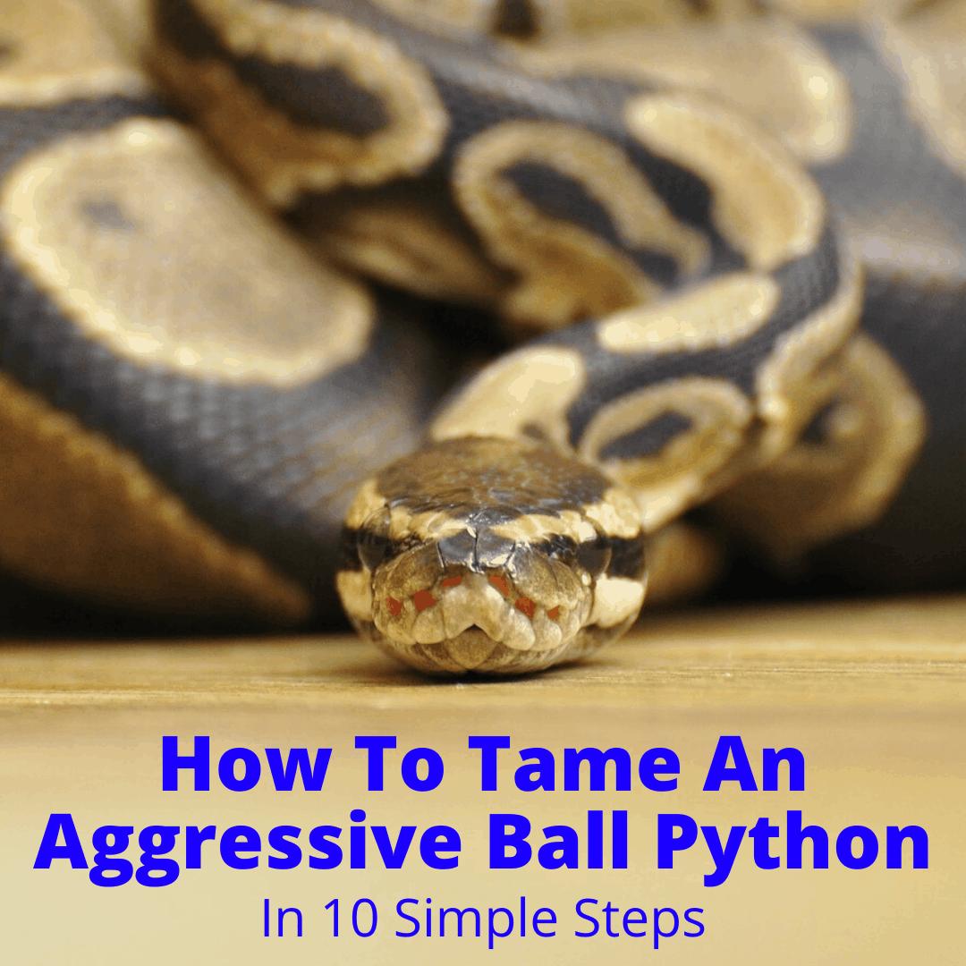How To Tame An Aggressive Ball Python