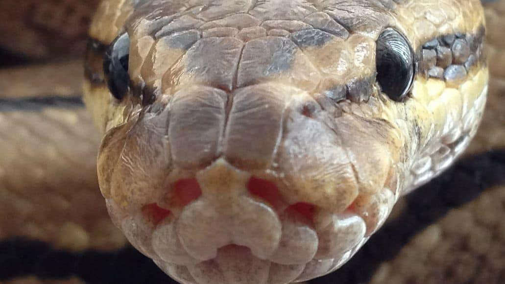 Ball python close to shedding