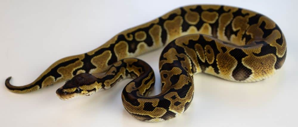 Ball python outside cage