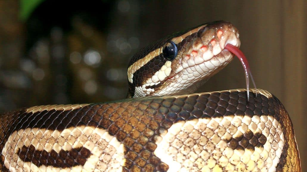 Ball python smelling with tongue