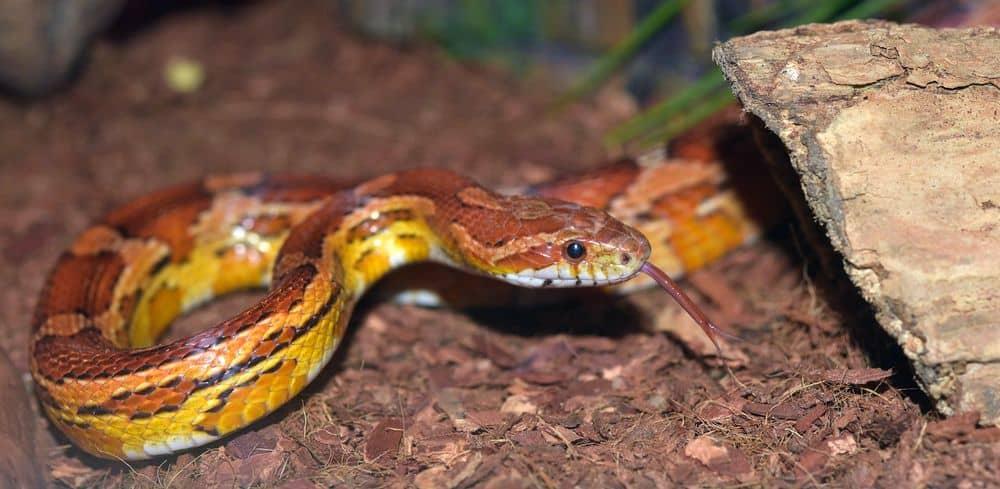 Non-venomous corn snake
