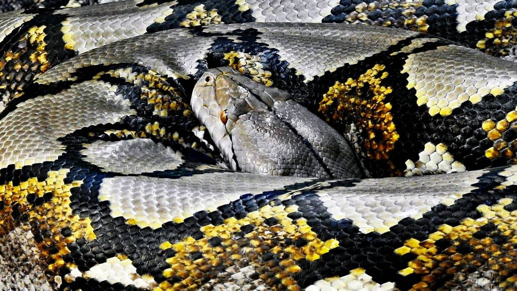 Reticulated Python coiled