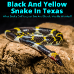Yellow and black snake in Texas