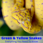Green and yellow snake