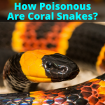 How Poisonous Are Coral Snakes?