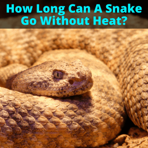 Snake going without heat