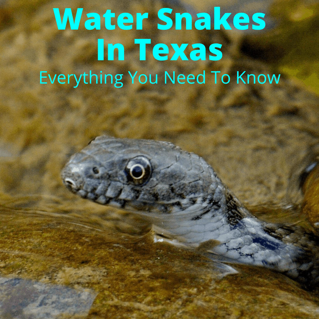 Water snakes in Texas