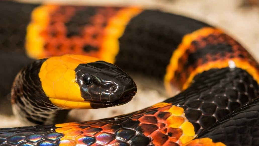 Black head on coral snake