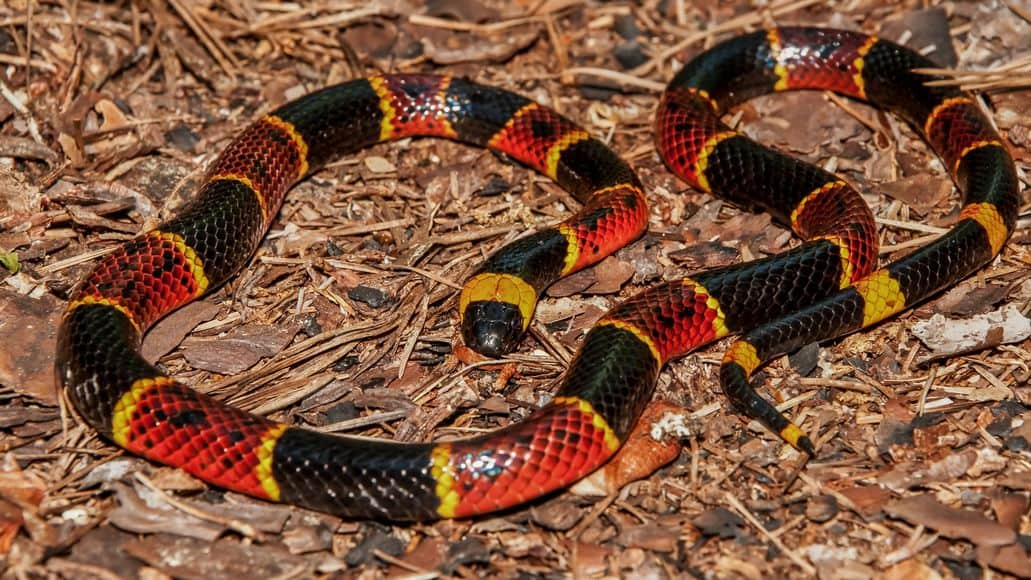 Coral snake on substrate