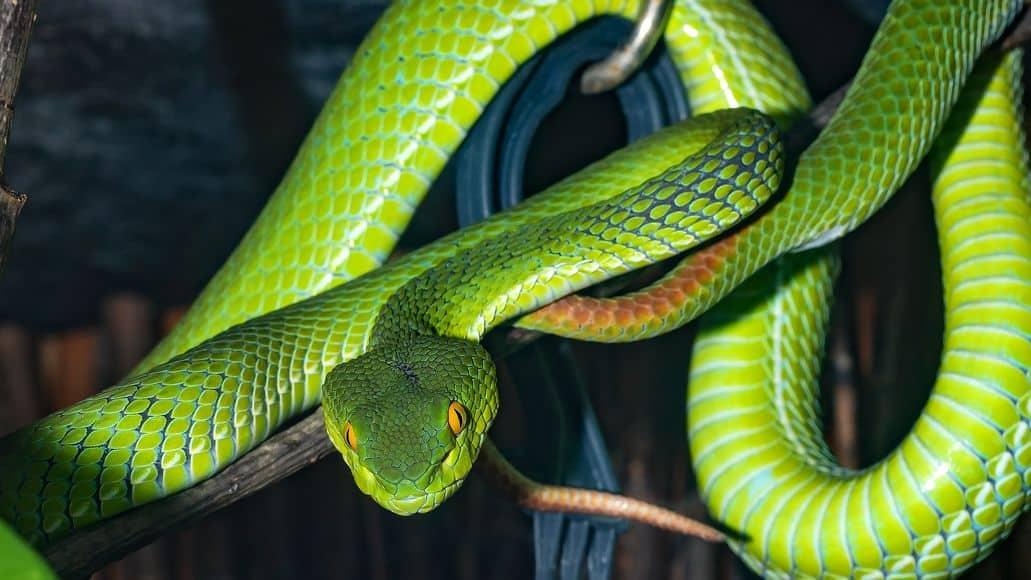 Green snake viper family