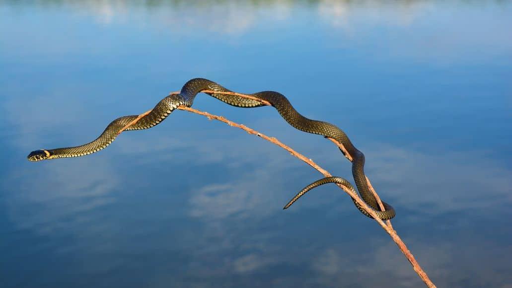 Snake on branch above lake