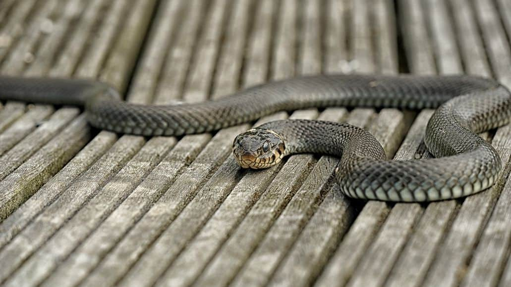 Snake intruding on property