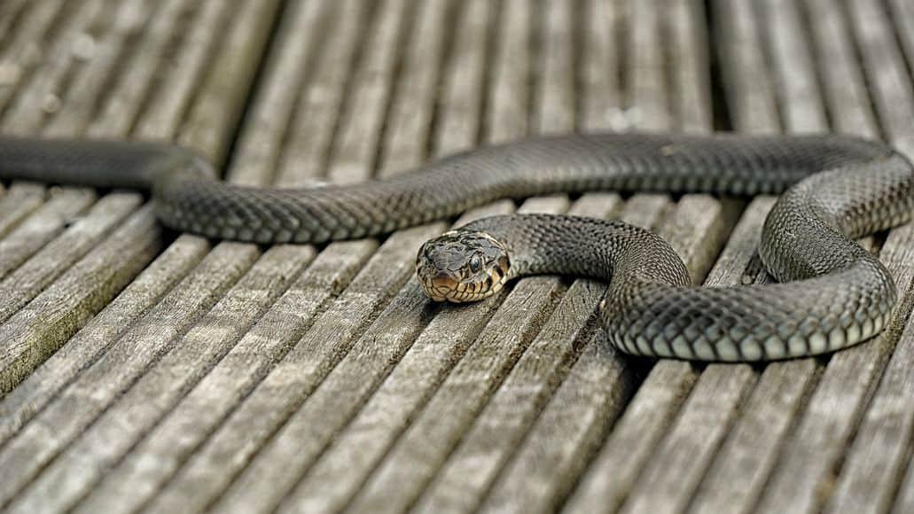 Snake intruding on property