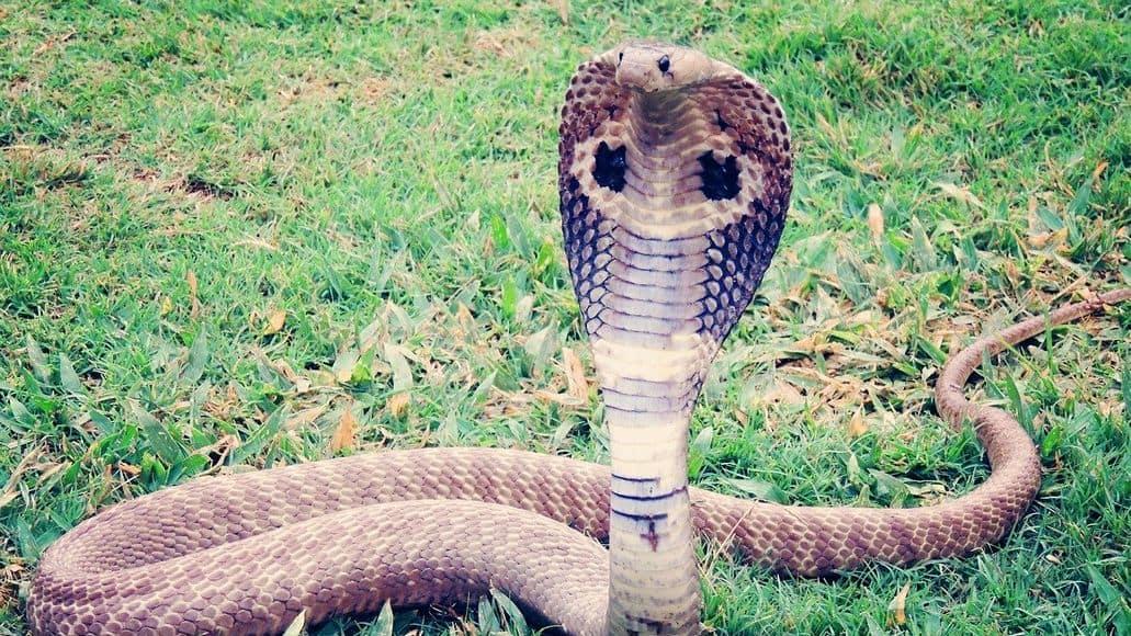 Venomous king cobra