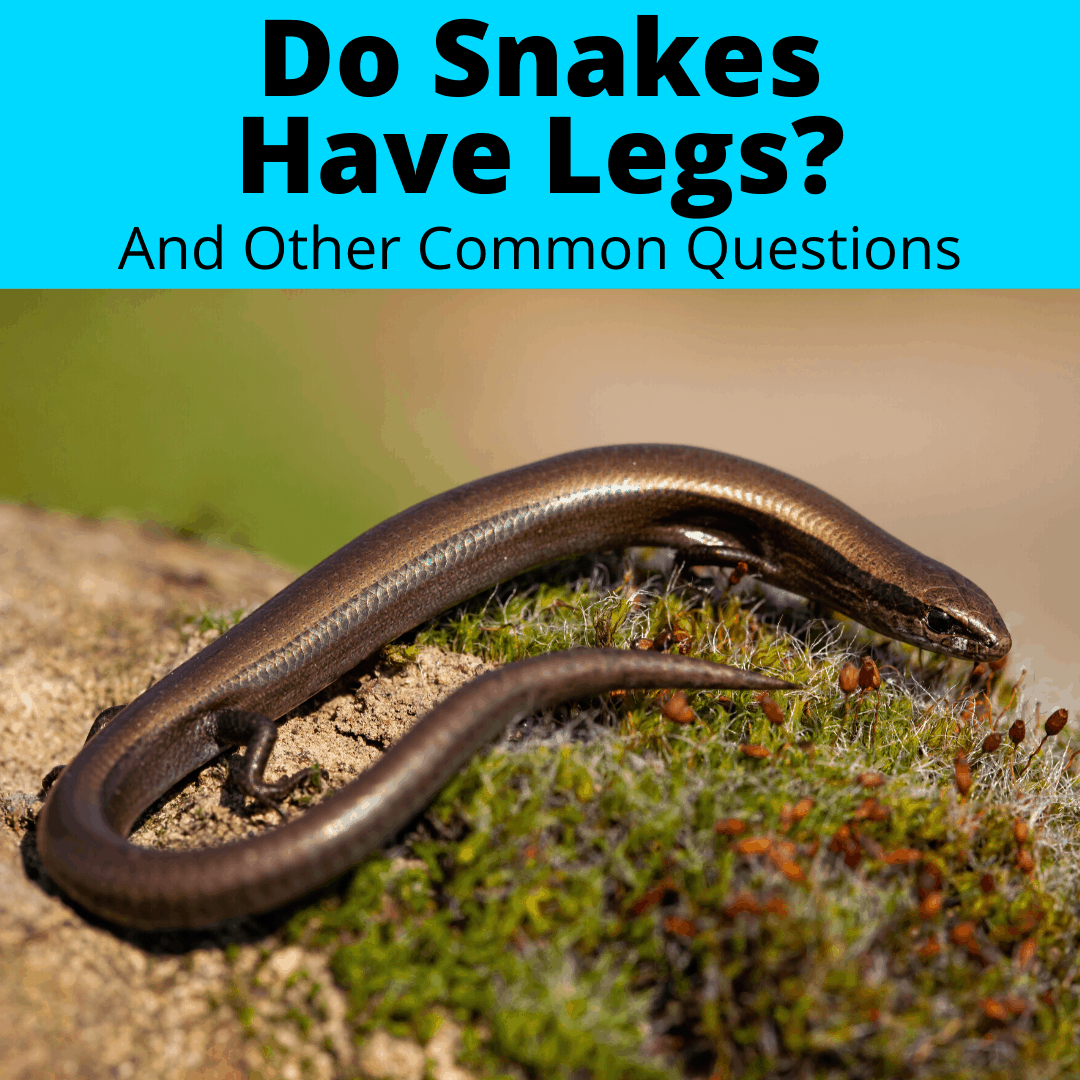 Do snakes have legs