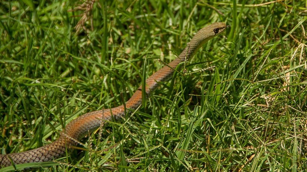Snake moving through grass