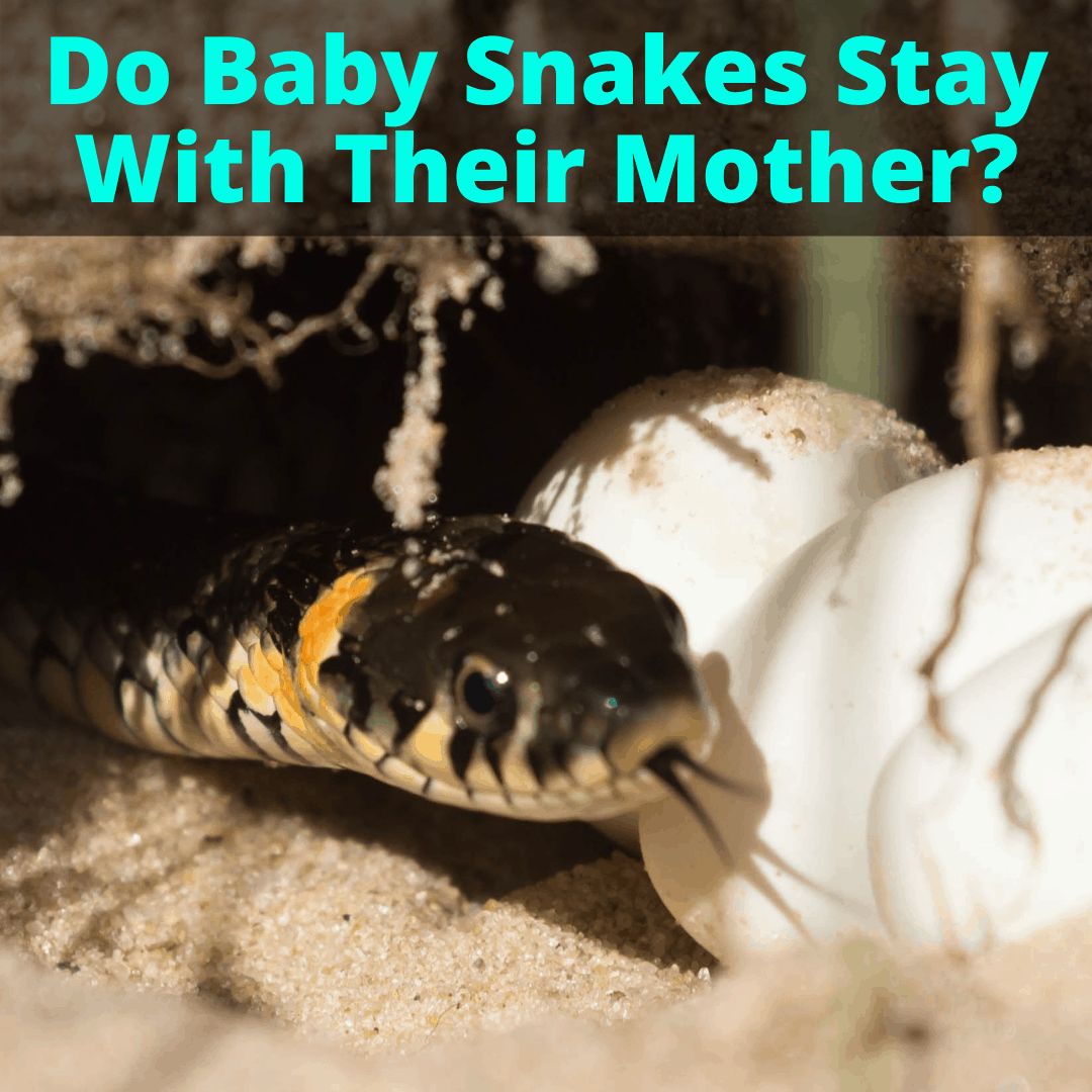 Do Baby Snakes Stay With Their Mother