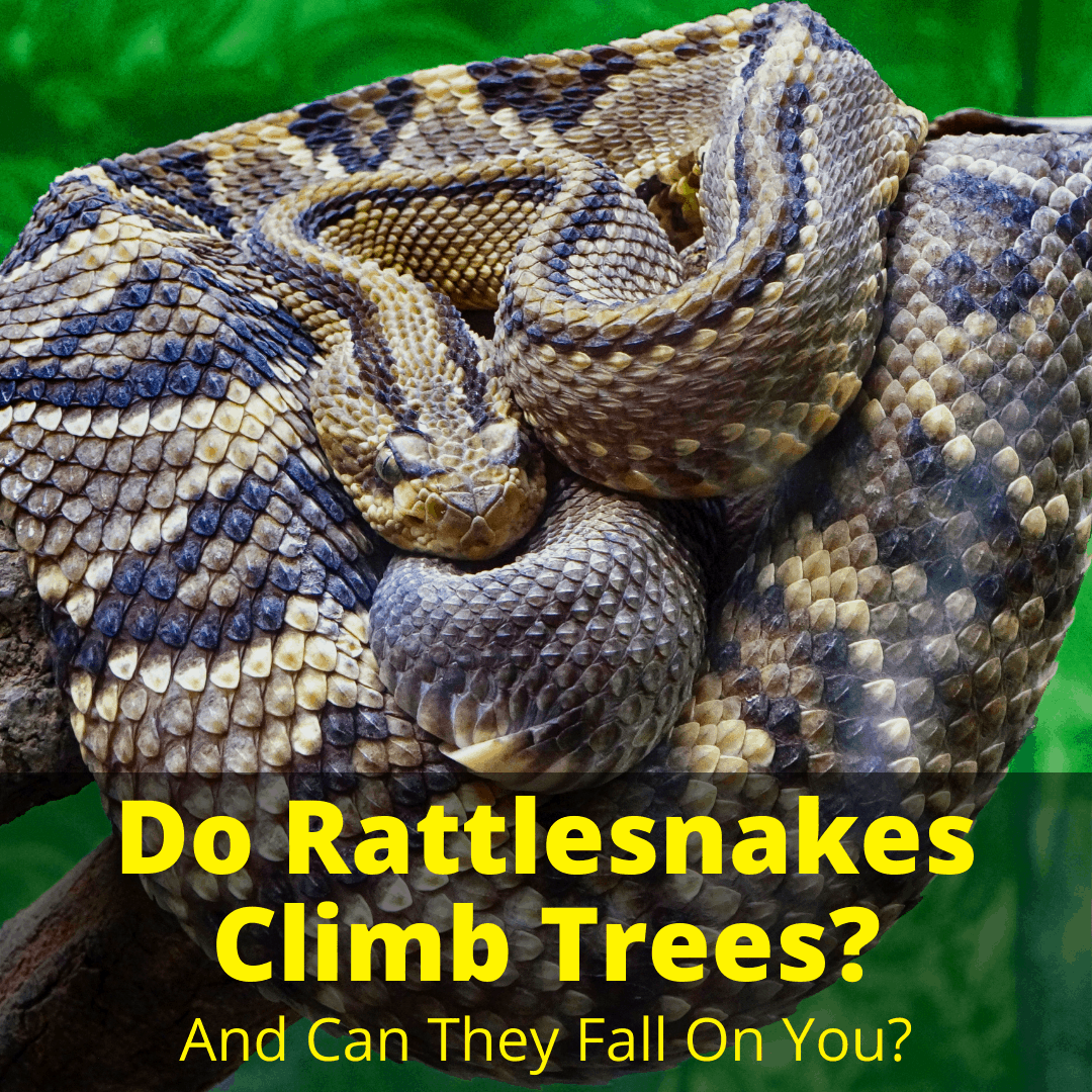 Do Rattlesnakes Climb Trees
