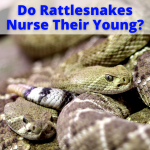 Do Rattlesnakes Nurse Their Young