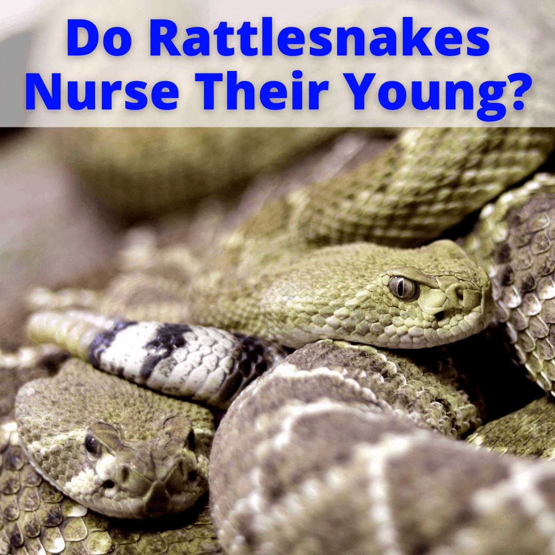 Do Rattlesnakes Nurse Their Young