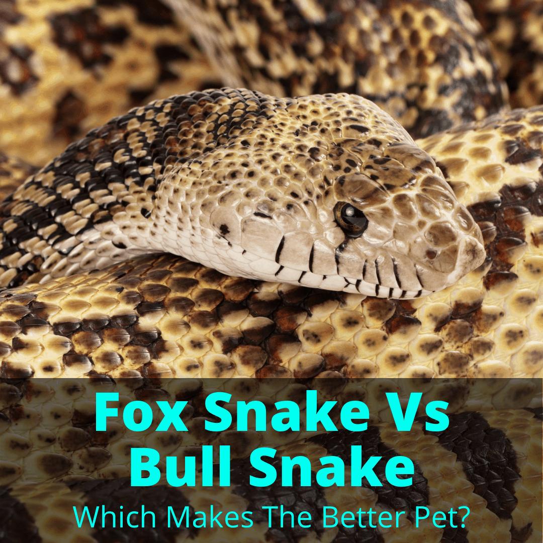 Fox Snake Vs Bull Snake