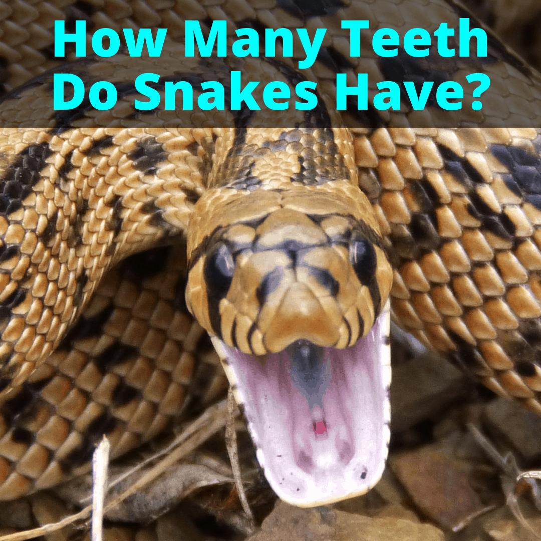 How Many Teeth Do Snakes Have