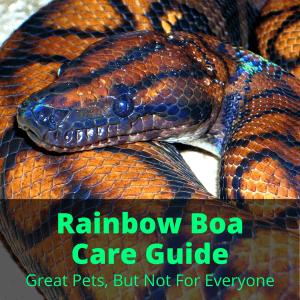 Rainbow Boa Care
