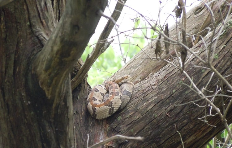 spotted rattlesnake on tree