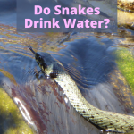 Do Snakes Drink Water