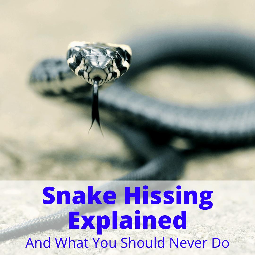 Snake Hissing
