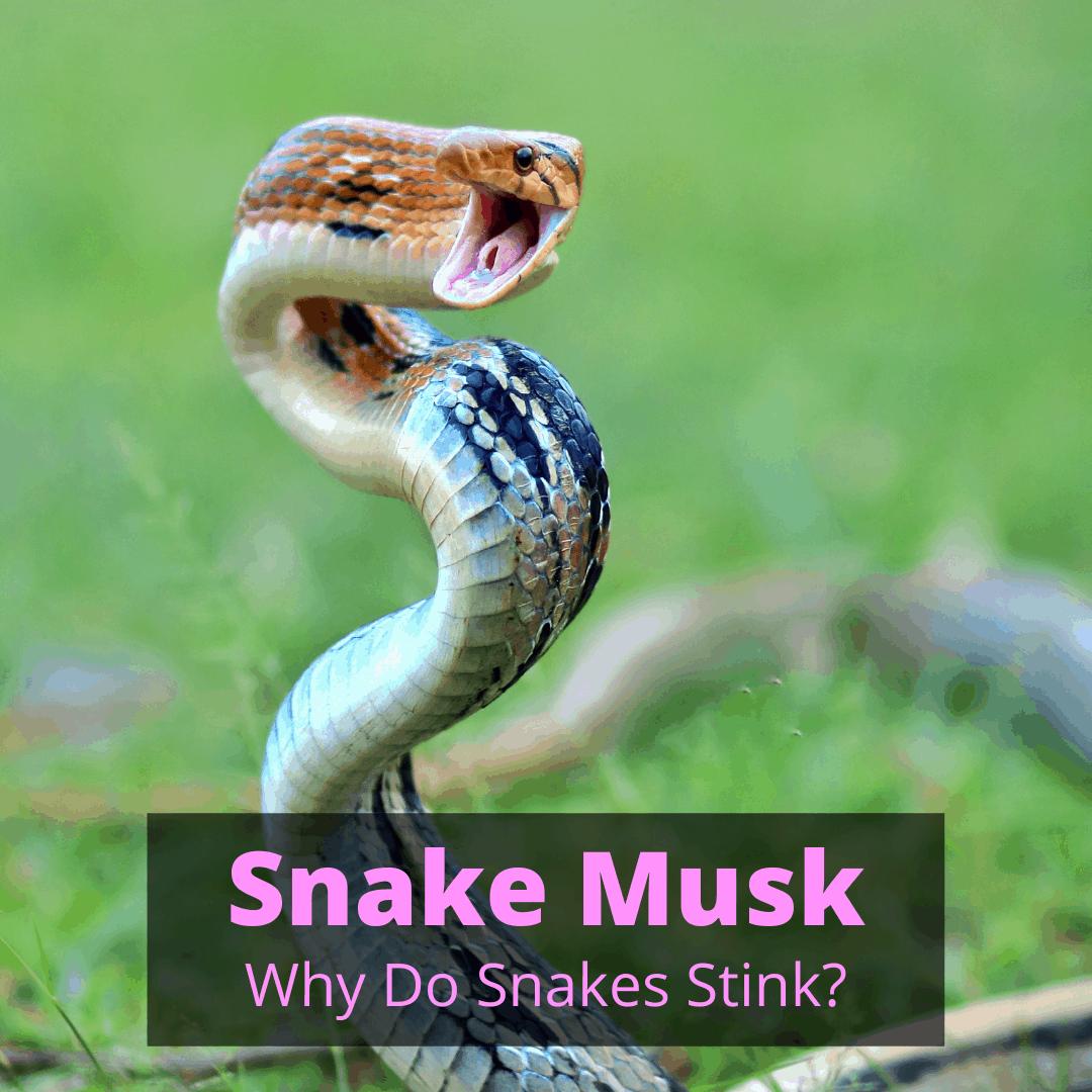 Snake Musk