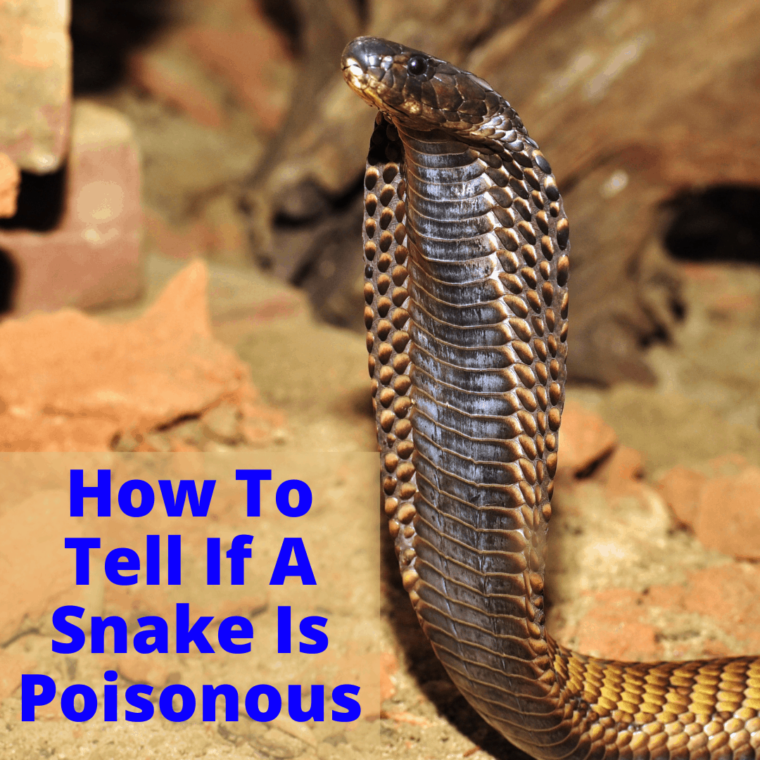 How To Tell If A Snake Is Poisonous