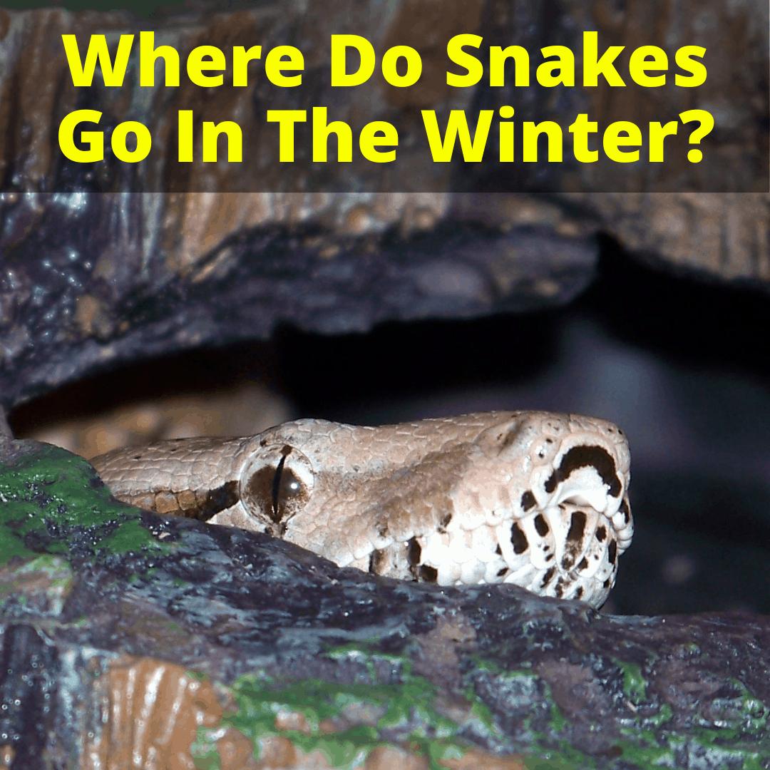 Where Do Snakes Go In The Winter
