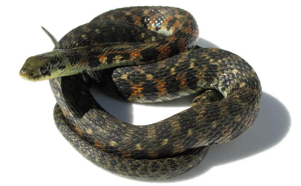 Yamakagashi snake japan