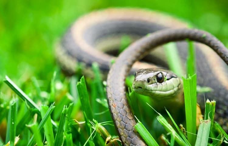 ammonia effect on snakes