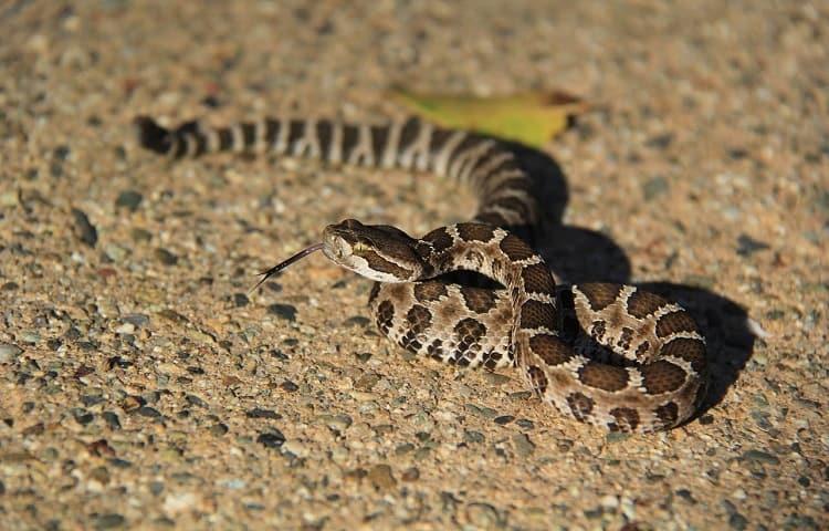 are baby rattlesnake dangerous