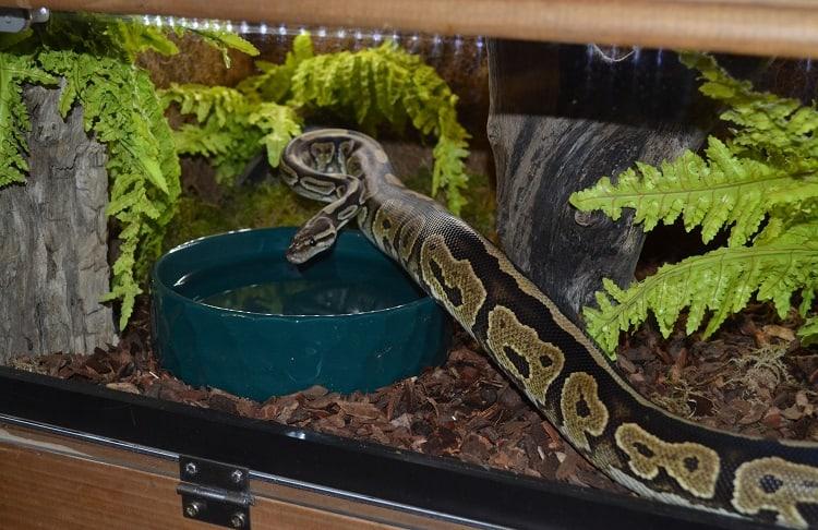 ball python in enclosure