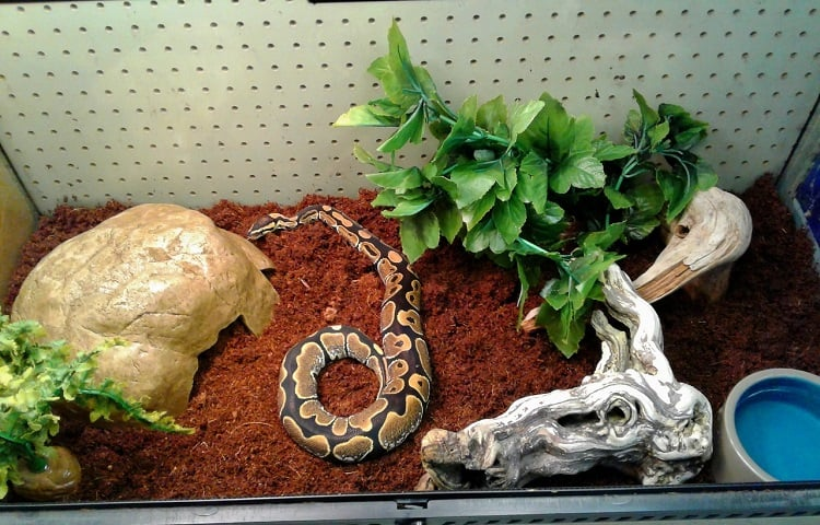 when to change ball python bedding