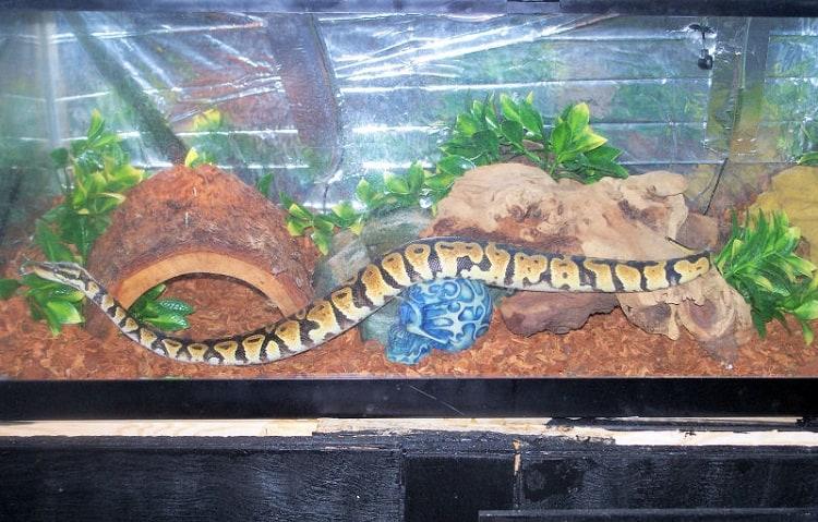 ball python in nice enclosure setup