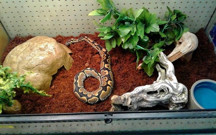 ball python in terrarium