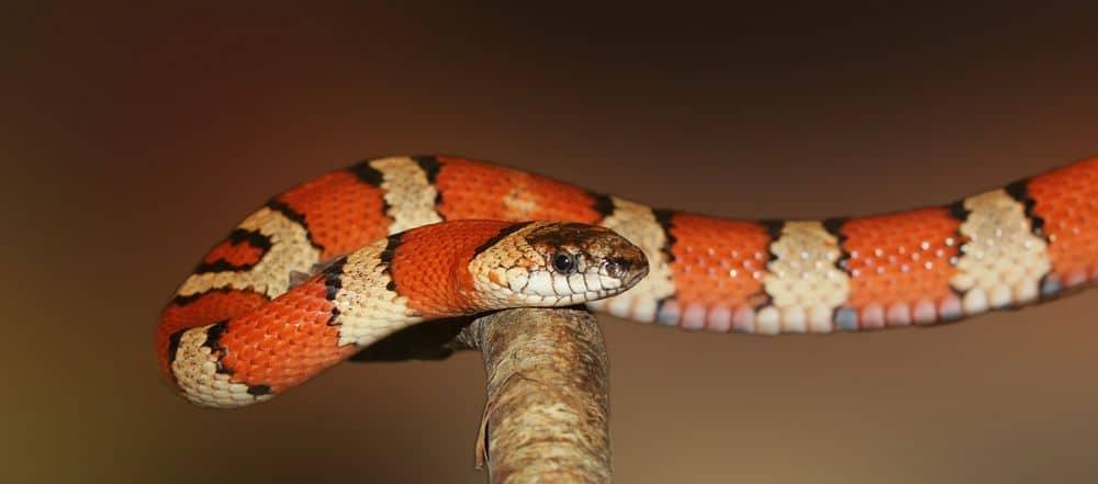 king snake ready to strike
