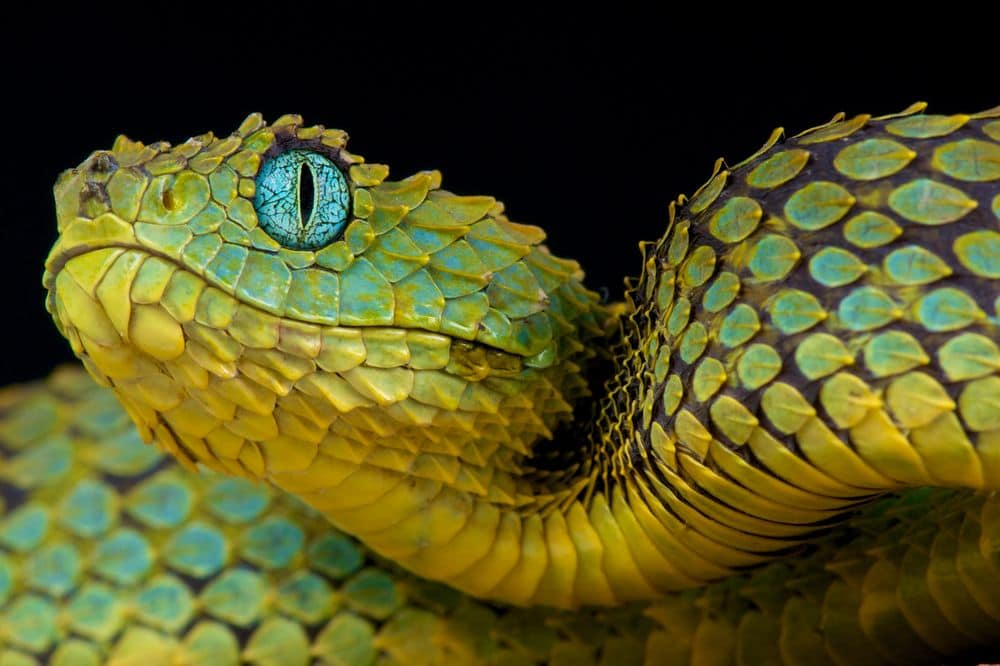 Bush viper dragon snake