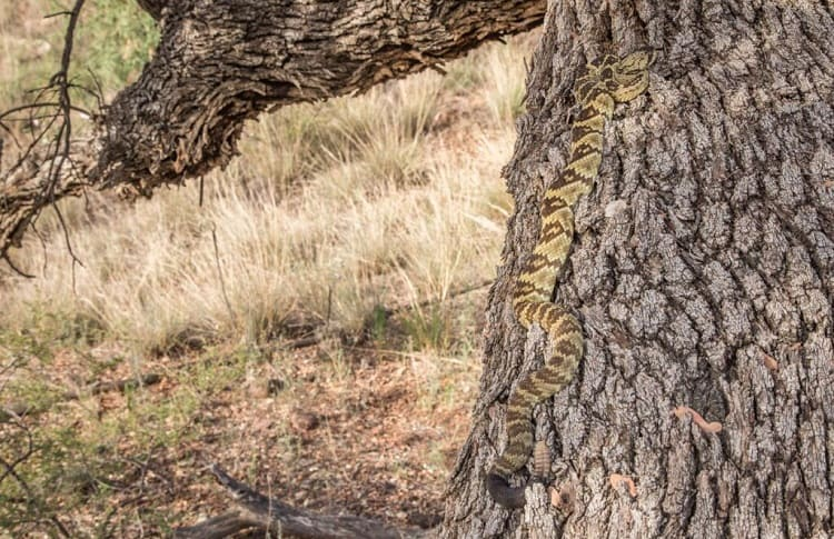 rattlesnake climbing on tree