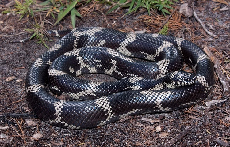 colors of common kingsnake