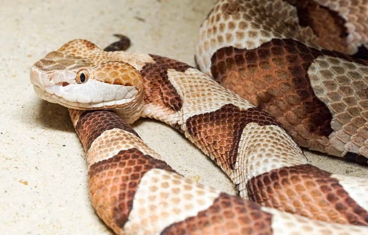 poisonous copperhead snake