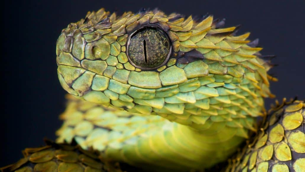 Dragon snake bush viper