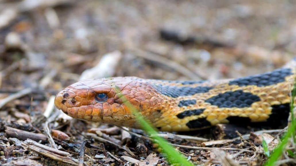 fox snake