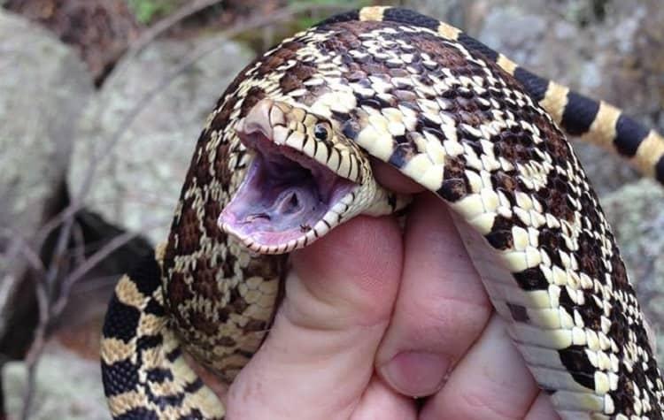 snake hissing organ