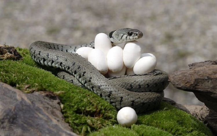 grass snake with eggs