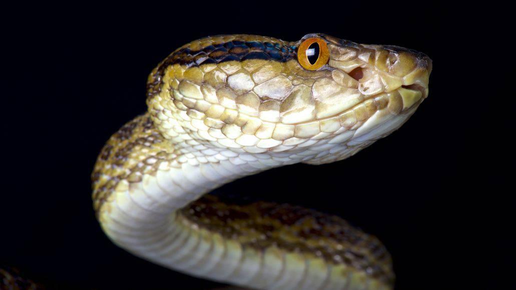 habu snake in japan